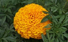 Картинка цветок, макро, оранжевая, бархотка