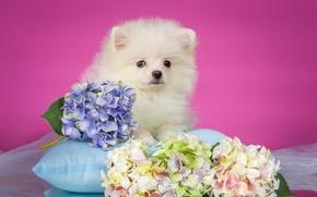 Картинка белый, щенок, подушка, гортензия, шпиц
