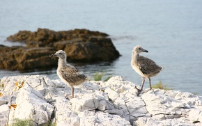 Картинка море, животные, природа, камни, чайки, братья, птенцы