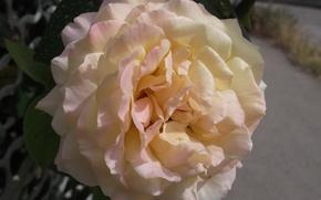 Картинка цветы, забор, роза