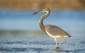 Картинка глаза, озеро, птица, клюв, шея, цапля, живая природа