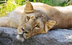 Обои львица, лев, морда, глаза