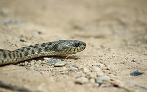 Картинка песок, фон, змея, хищник, рептилия
