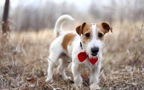 Картинка друг, собака, Джек-рассел-терьер