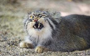 Картинка кошка, клыки, манул, ©Tambako The Jaguar