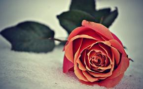 Картинка Роза, Снег, Rose, Snow, Боке, Bokeh
