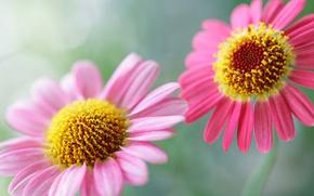 Картинка цветок, лето, цветы, нежность, красота, растения, утро, цветочки, цветки, цветочек, нежный розовый