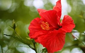 Обои макро, лепестки, гибискус, китайская роза