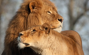 Картинка любовь, кошки, лев, львица