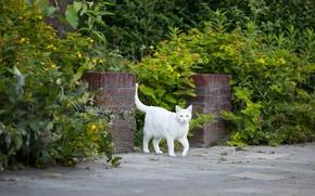 Обои кошка, белый, трава, кот