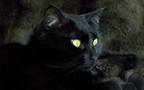 Обои животные, черный, кот