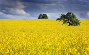 Картинка поле, лето, рапс