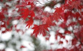 Обои дерево, клен, красные, листья, ветки