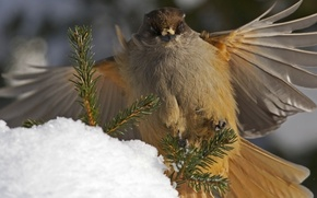 Обои перья, ветки, кукша, крылья, птица