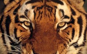 Обои взгляд, тигр, глаза