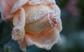 Картинка холод, иней, осень, цветок, макро, цветы, фон, обои, роза, сад, мороз, лепестки розы