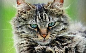 Картинка кошка, кот, серый, портрет, пушистый, полосатый