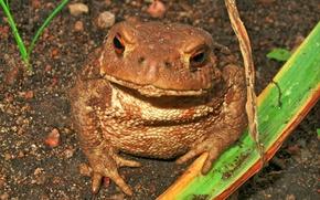 Картинка животные, макро, жаба