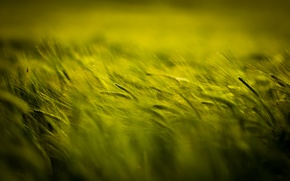 Обои поле, колоски, зеленое