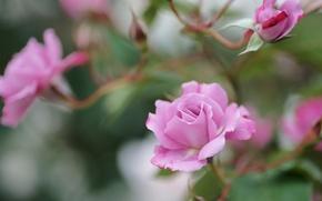 Картинка цветы, ветки, розы, розовые