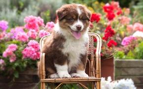 Обои язык, лето, цветы, собака, маленький, сад, рыжий, милый, щенок, мордашка, сидит, клумба, хорошенький, стульчик, овчарка, ...