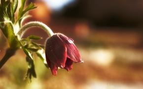 Картинка цветок, капля, весна, подснежник, сон-трава