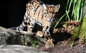 Картинка кошка, леопард, дымчатый леопард