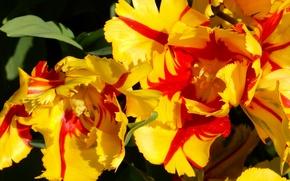 Картинка цветы, widescreen, обои, тюльпан, весна, тюльпаны, wallpaper, широкоформатные, background, обои на рабочий стол, полноэкранные, HD …