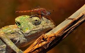 Картинка макро, ветка, стрекоза, ящерица, насекомое, хамелион