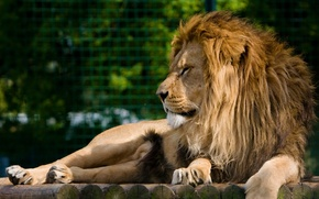 Картинка морда, отдых, хищник, лев, грива