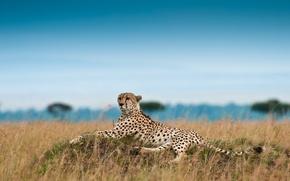Обои отдых, гепард, охотничий леопард, Acinonyx jubatus
