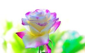 Обои красота, лепестки, фон, роза