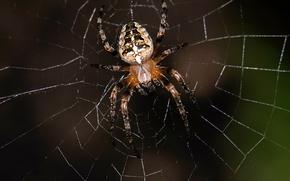 Обои муха, паутина, паук