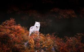 Картинка осень, лес, деревья, природа, листва, хищник, Волк, кусты