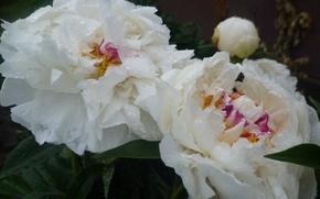 Картинка Цветы, Белый, Роса, Беларусь, Пионы