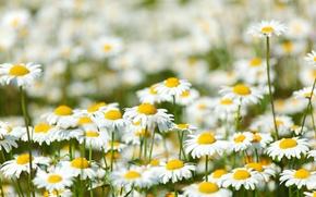 Картинка цветы, поляна, ромашки, луг, ярко, солнечно, полевые