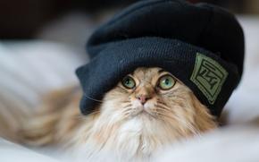 Картинка кошка, шапка, пушистая, Daisy, Ben Torode, Benjamin Torode