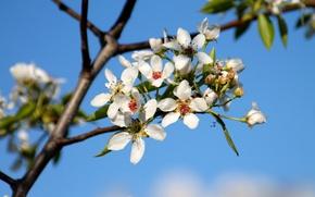 Картинка цвет, весна, груша