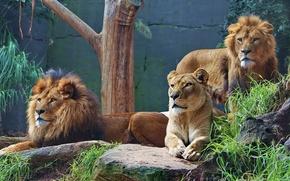 Картинка хищники, львы, львица