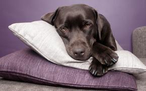 Картинка собака, лежит, подушка, лабрадор