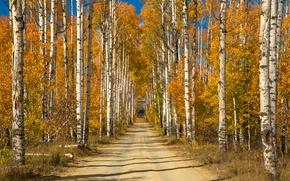 Обои осень, роща, берёзы, аллея, желтые, деревья, дорога, солнечно