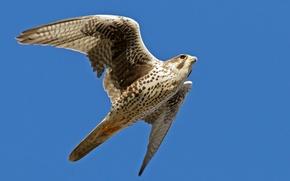 Картинка небо, полет, синий, фон, птица, крылья, Сокол, взмах