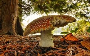 Картинка зелень, лес, гриб, мухомор