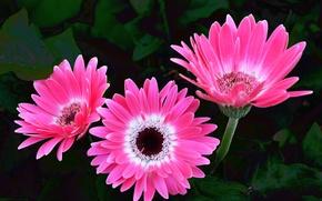 Картинка розовые, герберы, pink, Gerbera