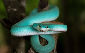 Обои Blue Trimeresurus insularis, змея, природа