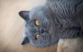 Картинка кошка, кот, взгляд, портрет, пол, лежит, мордаха, забавный, желтоглазый
