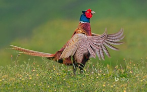 Картинка фазан, перья, Нидерланды, хвост, птица, Тексел