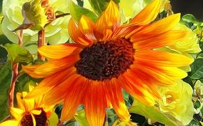 Обои цветок, линии, краски, лепестки, подсолнух