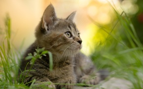 Картинка лето, трава, взгляд, природа, животное, котёнок