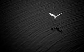 Обои полет, озеро, крылья, тень, большая беляшка цапля